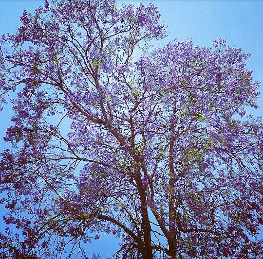 jacaranda-in-bloom